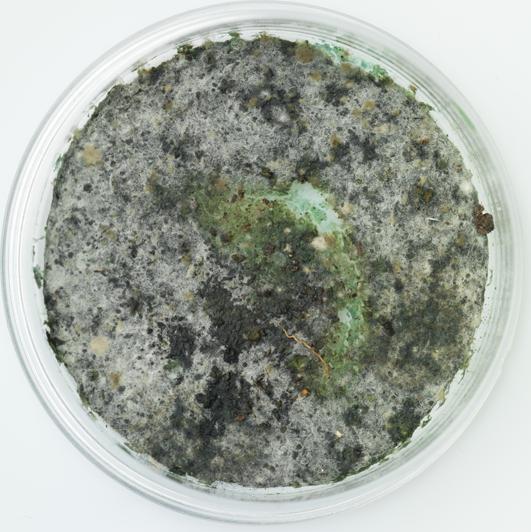 mold in petri dish